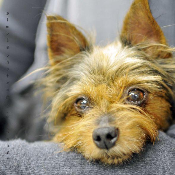 Dog Adoption West Island